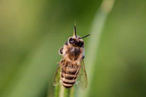 tratament natural al intepaturilor de albine